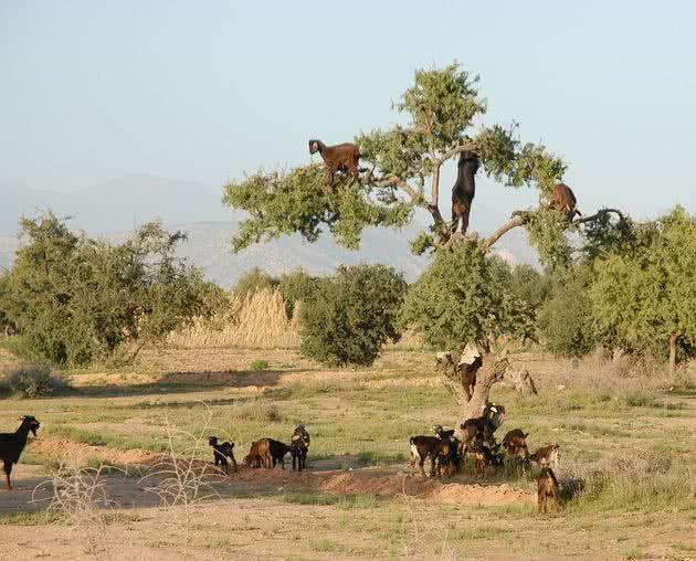 árvore de cabras