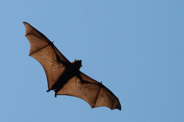 Raposas-voadoras