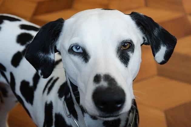 Cachorro com heterocromia