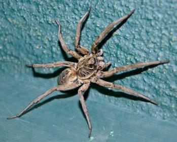 As 14 aranhas venenosas mais perigosas do mundo