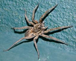 Aranha-de-jardim: saiba se ela é venenosa e perigosa