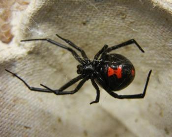 Aranha viúva-negra: como é sua aparência, onde vive e é venenosa?
