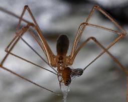 As 3 aranhas domésticas mais perigosas (e 7 que são inofensivas)