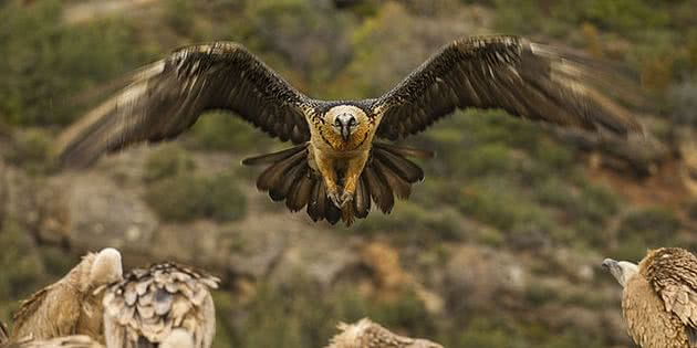 Bearded Vulture