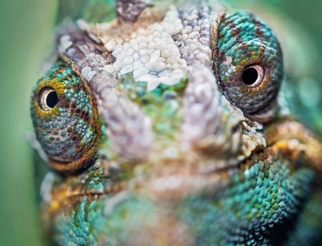 Olhar 360º do camaleão