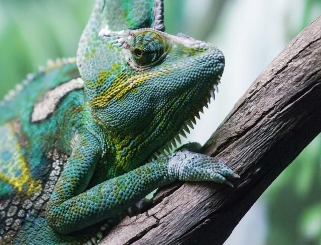 Camaleão na cor verde num tronco