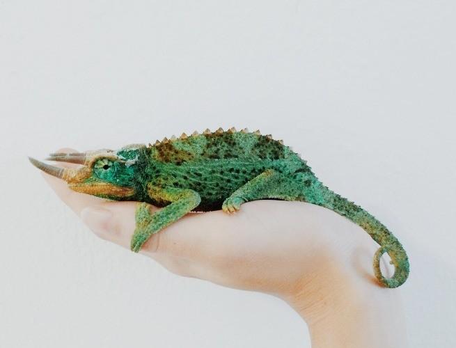 Proporção do tamanho de um camaleão na mão de uma pessoa
