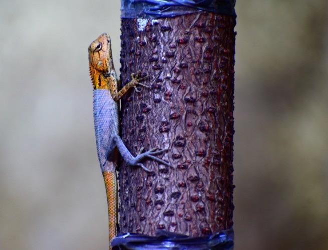 Camaleão adaptado a cor do ambiente