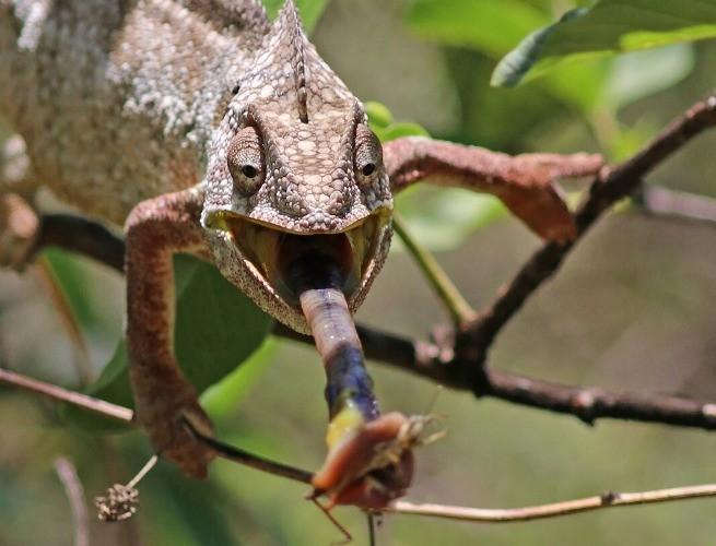 A super lingua do camaleão