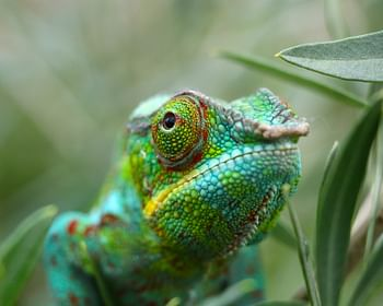 Camaleão: curiosidades inusitadas do animal que muda de cor