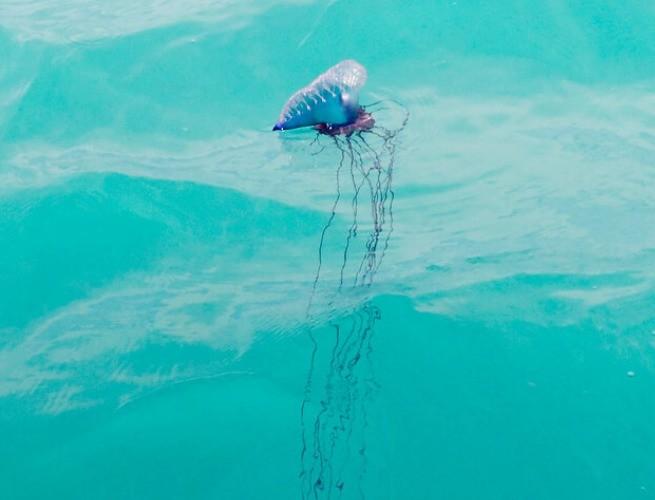 Os longos tentáculos da caravela-portuguesa dentro do mar