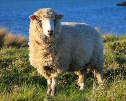 Clonagem da Ovelha Dolly: 10 questões respondidas sobre esse feito histórico