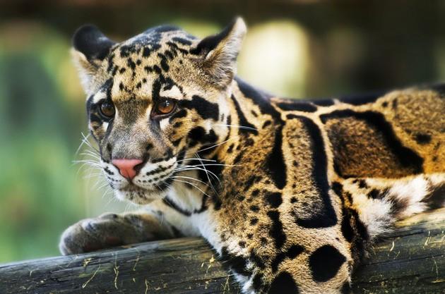 Leopardo Nebuloso de Formosa