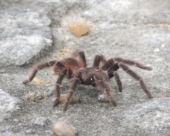 Conheça a aranha caranguejeira e saiba se ela é venenosa