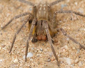 Conheça as 5 aranhas mais venenosas do Brasil