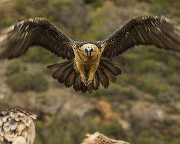 Conheça as 10 maiores aves de rapina do mundo