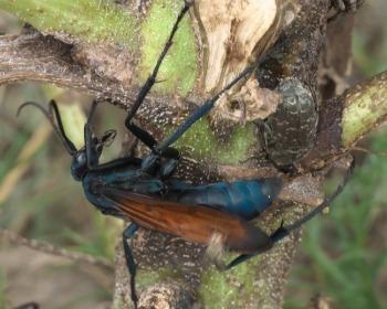 Conheça o cavalo-do-cão, o inseto com a picada mais dolorida do mundo!