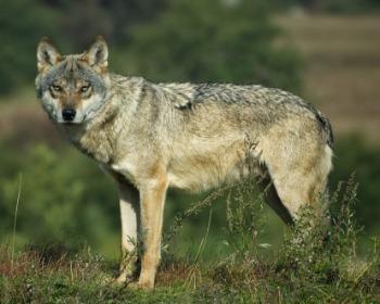 Conheça os lobos: características, comportamento e espécies