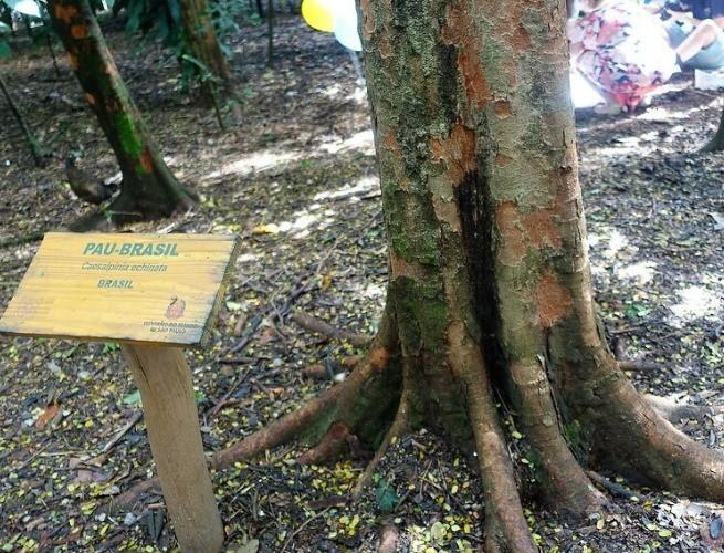 Pau-brasil preservado em Pernambuco