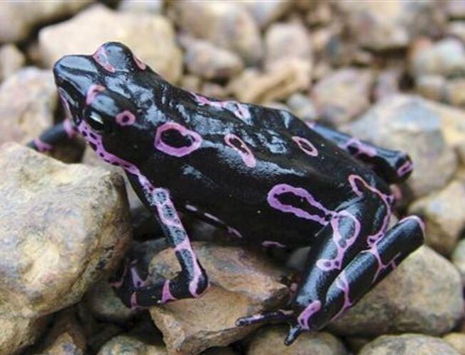 Sapo fluorescente de cor púrpura - REUTERS/Paul Ouboter