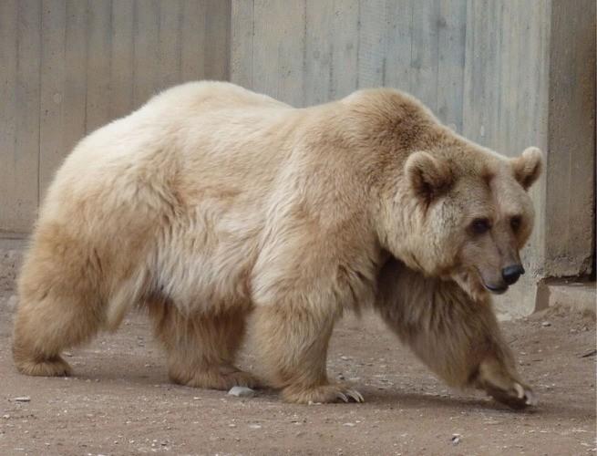 urso grolar