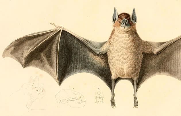 Morcegos-vampiros