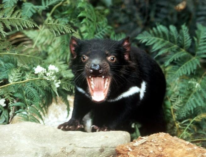 Diabo da tasmânia em momento de agressividade