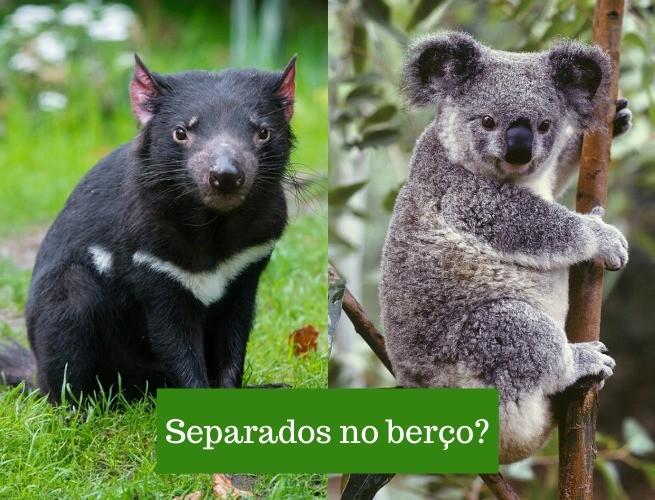 Comparação entre o Diabo da tasmânia e um Coala (dois marsupiais): será que foram separados no berço?
