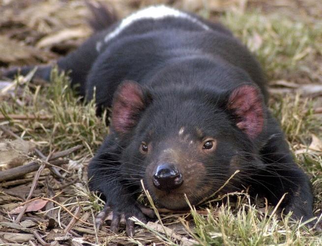 Diabo da tasmânia em momento de tranquilidade