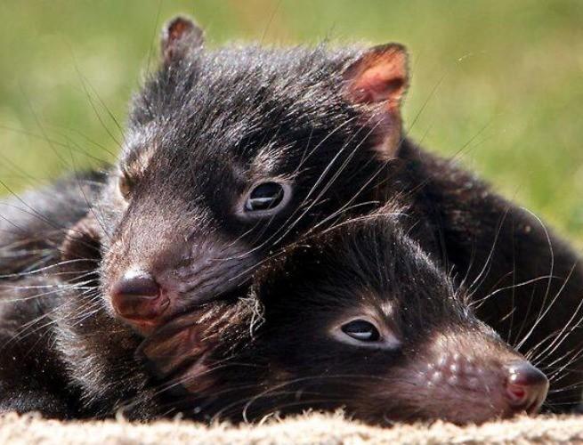 Filhotes de diabo da tasmânia © Liam Driver