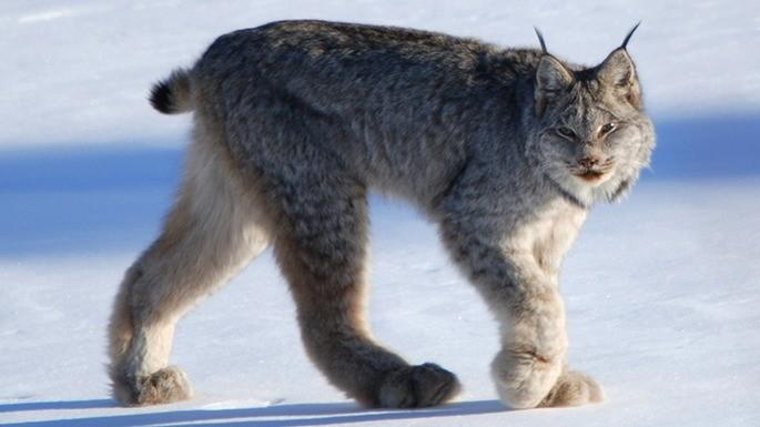 especies-de-felino-01-lince-canadense
