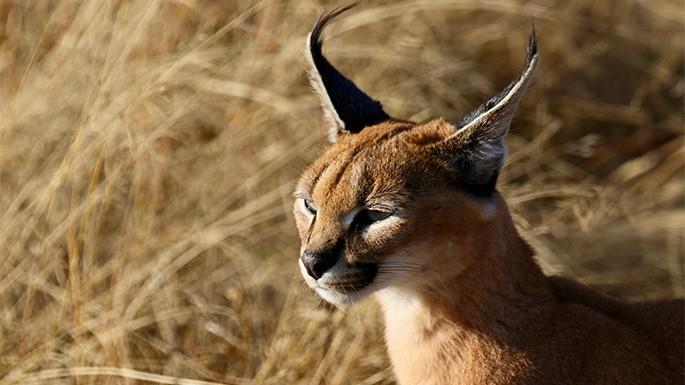 especies-de-felino-02-caracal