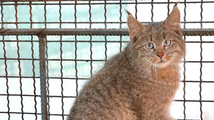 especies-de-felino-03-gato-da-montanha-chines