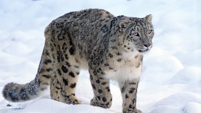 especies-de-felino-04-leopardo-das-neves