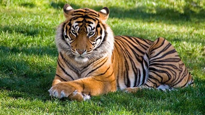 especies-de-felino-05-tigre
