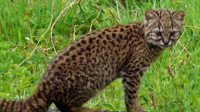 especies-de-felino-08-gato-chileno