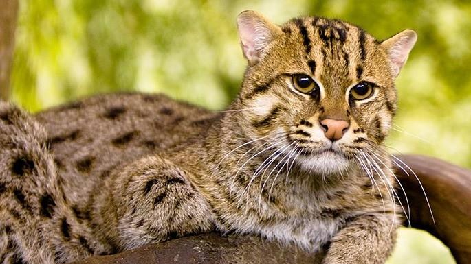 especies-de-felino-09-gato-pescador
