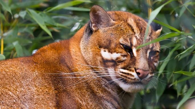 especies-de-felino-12-gato-dourado-da-china