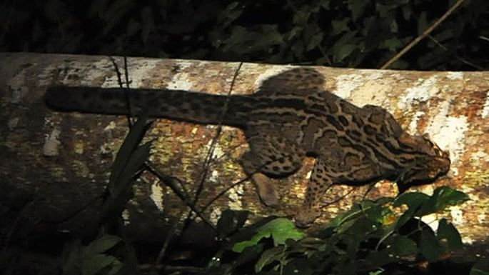especies-de-felino-13-gato-marmorado