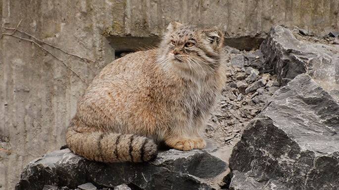 especies-de-felino-14-gato-de-pallas