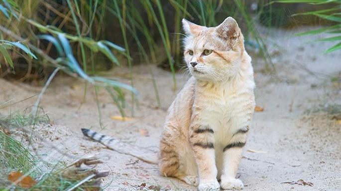 especies-de-felino-16-gato-do-deserto