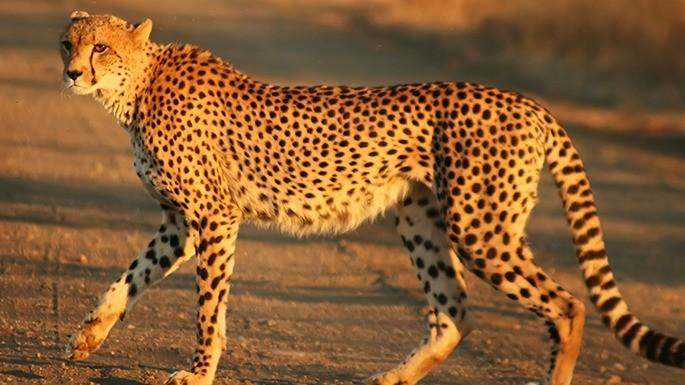 especies-de-felino-17-guepardo