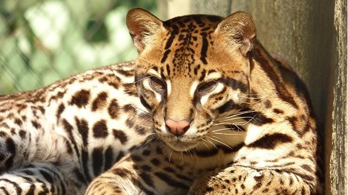 especies-de-felino-19-jaguatirica