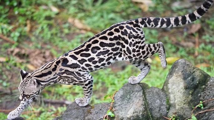 especies-de-felino-20-gato-maracajá