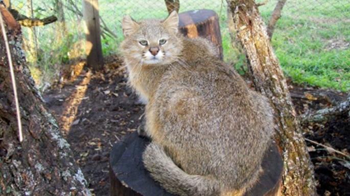 especies-de-felino-21-gato-dos-pampas