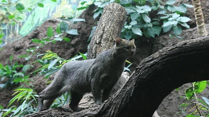especies-de-felino-22-jaguarundi