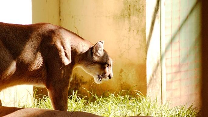 especies-de-felino-23-onça-parda