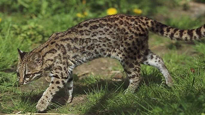 especies-de-felino-24-gato-do-mato