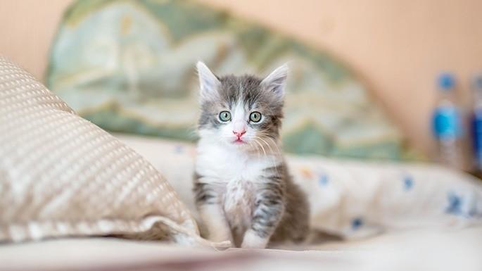 especies-de-felino-25-gato-domestico