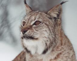 25 espécies de felinos encontradas no Brasil e no mundo